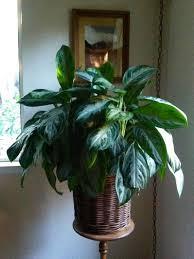 indoors garden growing tropical plants indoors garden compass