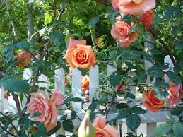 secrets to successful roses hgtv