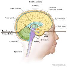 The Anatomy Of The Human Brain Central Nervous System Tumors Treatment Pdq U2014health