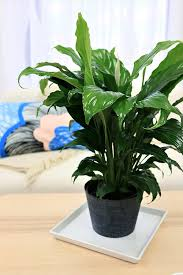 in door plant put in pot vide amazon com delray plants peace lily spathiphyllum in 6
