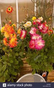 flower pot sale dahlia flower pink orange white and yellow variegated dahlia in