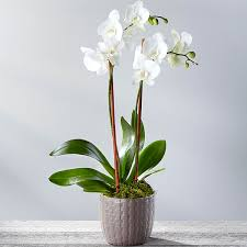 orchid plants serenity phalaenopsis orchid