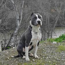 american pitbull terrier blue mil anuncios com american pitbull terrier blue