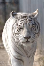 the about white tigers the wildcat sanctuary