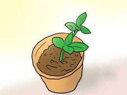 hardest plant to grow how to plant plumeria seeds 9 steps with pictures wikihow