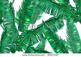 banana palm stock images royalty free images u0026 vectors shutterstock