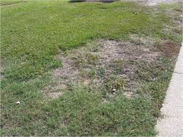what is killing my lawn north carolina cooperative extension