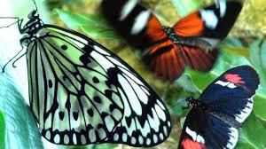 butterflies flying in motion hd houston butterfly museum