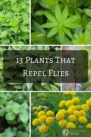 Flies In Backyard 13 Plants That Repel Flies