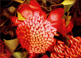 native plants victoria waratah tag wallpapers waratah flowers australia red native