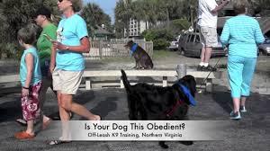 australian shepherd virginia amazing olk9 trained australian shepherd is your dog this good