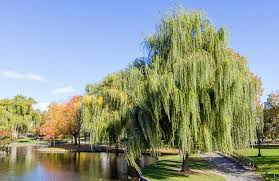 meet the trees the weeping willow of the garden