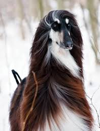 afghan hound utah 543 best images about felines canines u0026 others on pinterest