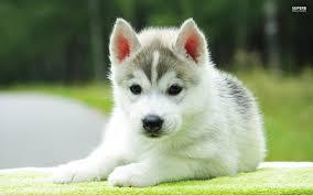puppydogweb