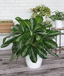 plants that need low light 14 hardy houseplants that will survive the winter real simple