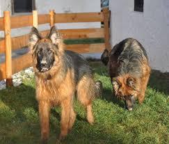 gewicht australian shepherd 7 monate bilder im neuen zuhause altdeutscher schäferhund langstockhaar