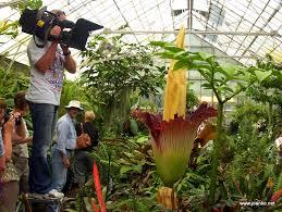 Largest Flower In The World World U0027s Biggest Flower Titan Arum Joan Ko