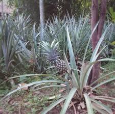 17 apart plant grow a pineapple top take two