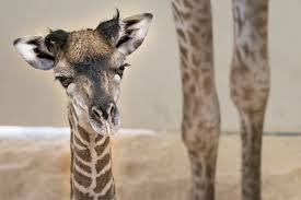 help name baby giraffe at cleveland metroparks zoo fox8 com