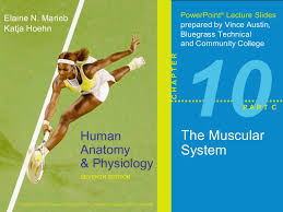 Anatomy And Physiology Exercise 10 10 C Muscular S