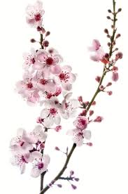 images of designs cherry blossom sc
