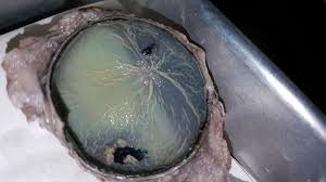 cow eye dissection anatomy corner