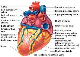 Anatomy Of Human Body Organs Best 25 Heart Anatomy Ideas On Pinterest Diagram Of The Heart