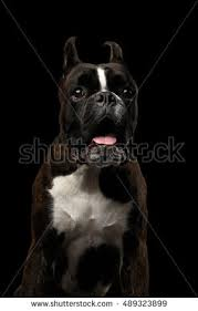 boxer dog black and white black and white boxer dog stock images royalty free images
