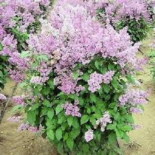 Shrub With Fragrant Purple Flowers - buy online korean lilac bush with purple flowers syringa villosa