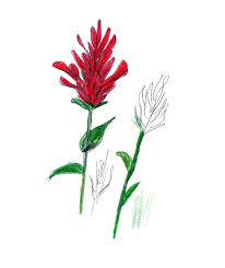 indian paintbrush flower indian paintbrush flowers class ideas