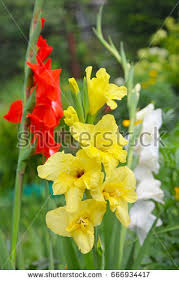gladiolus flowers gladiolus stock images royalty free images vectors