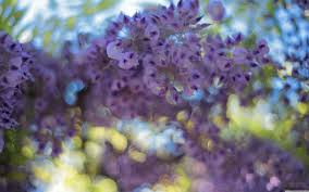 wisteria flowers hd desktop wallpaper widescreen high