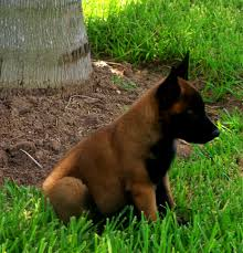 belgian malinois for sale windrush ranch u0026 kennel