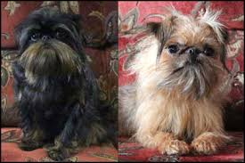 affenpinscher for sale canada brussels griffon breeders canada u0027s guide to dogs