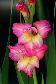 gladiolus flowers how to grow gladiolus gladiolus gardener s supply gladioli