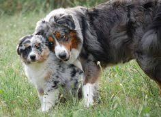 australian shepherd wolf pin by barbara rathmanner on hundemami mit puppies pinterest