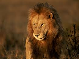male lion wallpapers big cat pictures big cat wallpapers national geographic