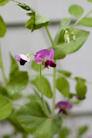 sweet peas flowers radish sweet pea salad recipe