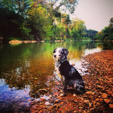australian shepherd water the dog shepherdess