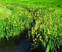 Iris Flag Washington State Noxious Weed Control Board