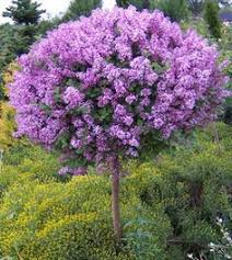 lilac bushes for sale nature nursery plant nurseries