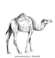 camel desert sketch graph on white stock illustration 414080536