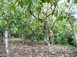 chocolate trees shower with disease fighting leaves