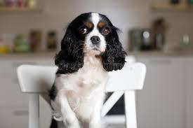 chien cuisine chien sur la chaise de cuisine photo stock image 107068674