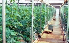 Cucumber Spacing On Trellis Cucumber Crop Guide Growing Cucumbers