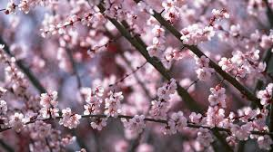 cherry blossom wallpaper for desktop background download awesome