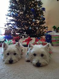 104 best westie images on westies white terrier and