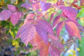 native plants ontario white ash fall colour ontario native plant nursery container