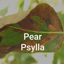 pear insects diseases