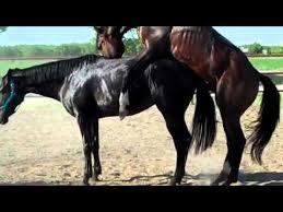 mustangs mating mating lover guys mating horses